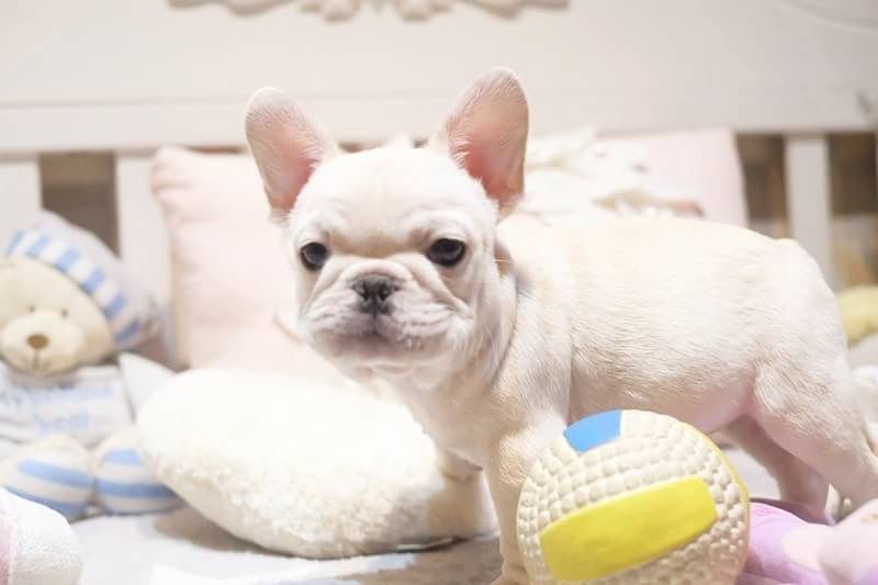 French Bulldog Puppy For Sale In San Jose Ca Adn 59284 On
