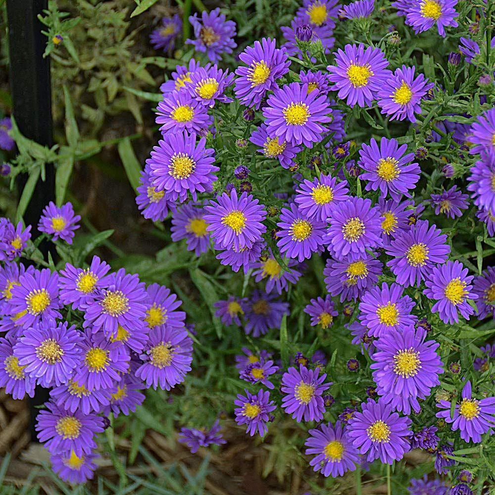 Aster Kickin Purple Perennials Perennial Plants Plants