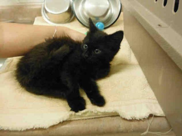 Adopt Mason On Kitten Adoption Cat Adoption Cats And Kittens