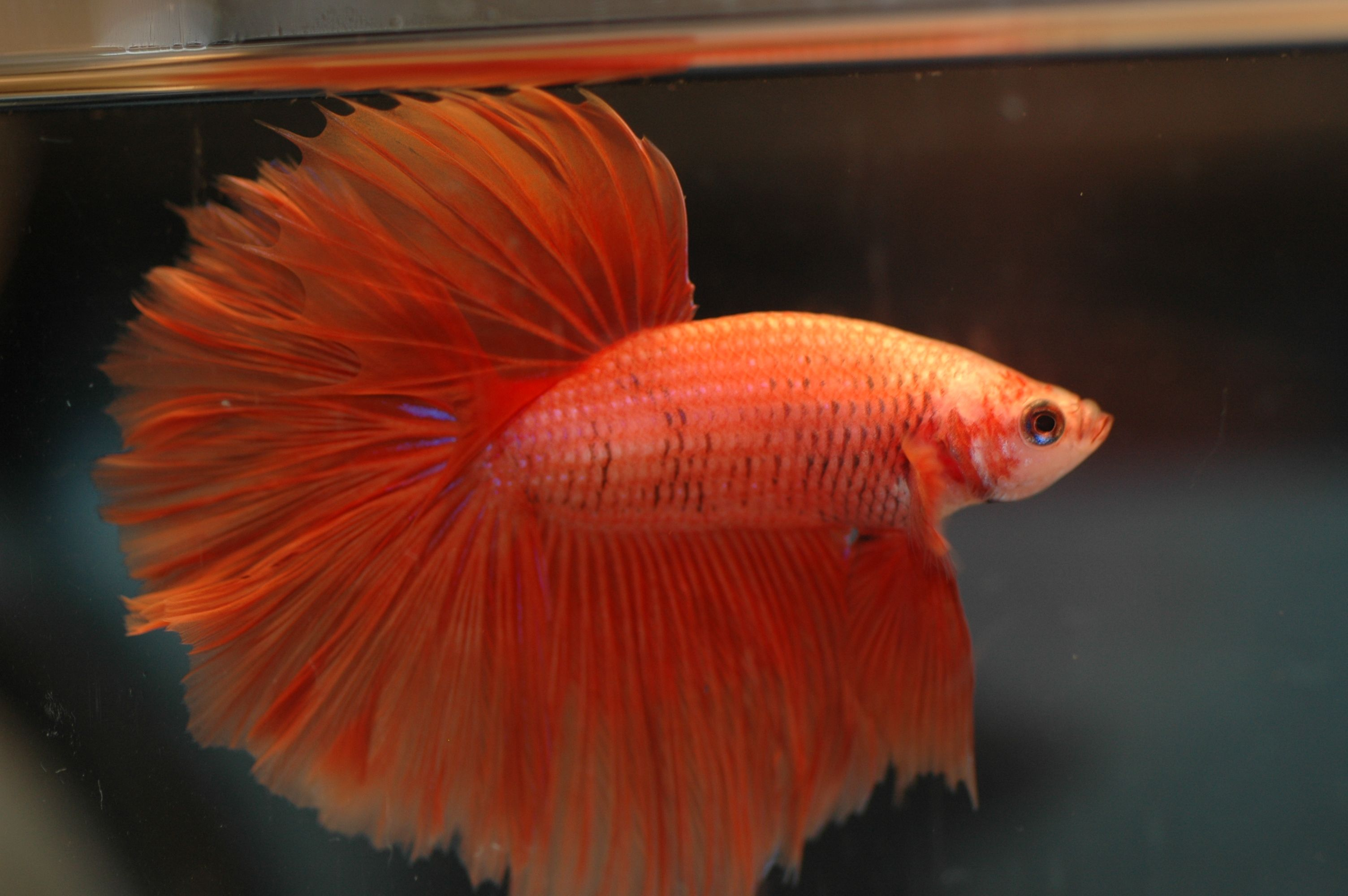 32 Amazingly Beautiful Red Animals You Need To See | Fish, Betta and ...
