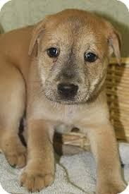 Image Result For American Chow Bulldog American Bulldog