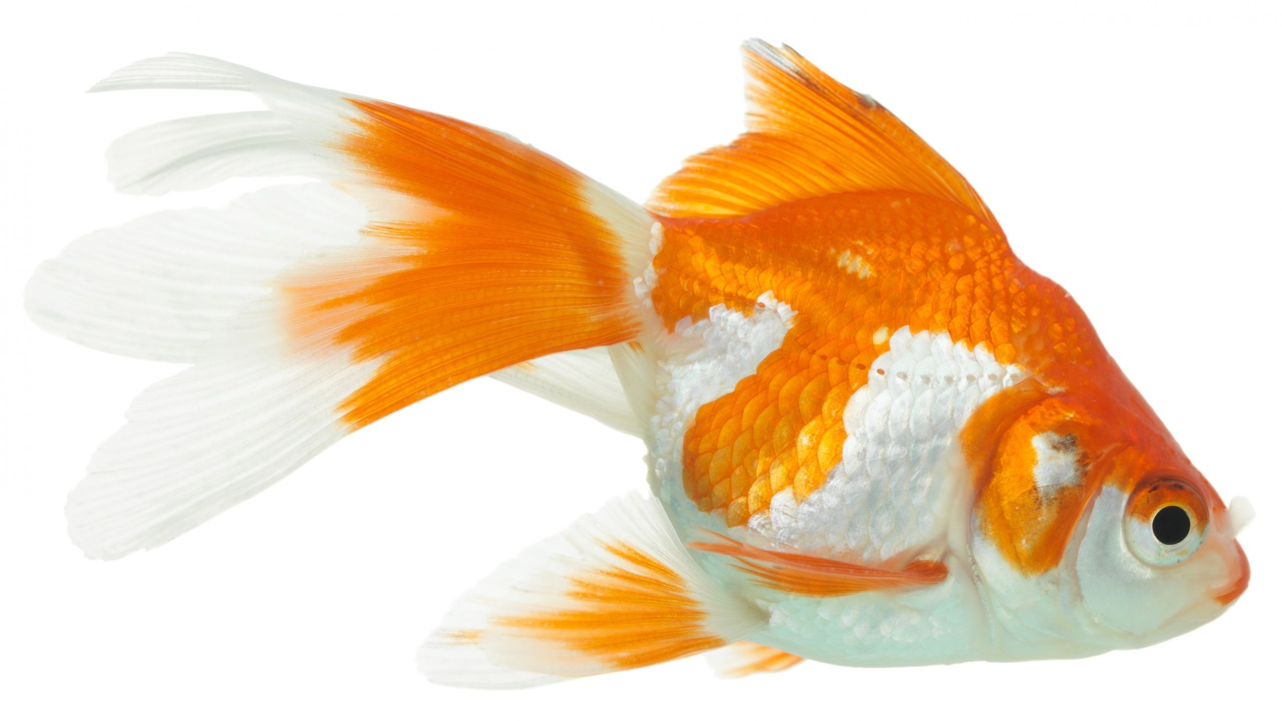 2560x1440 Wallpaper Goldfish White Background Close Up Goldfish Wallpaper Goldfish Pet Birds