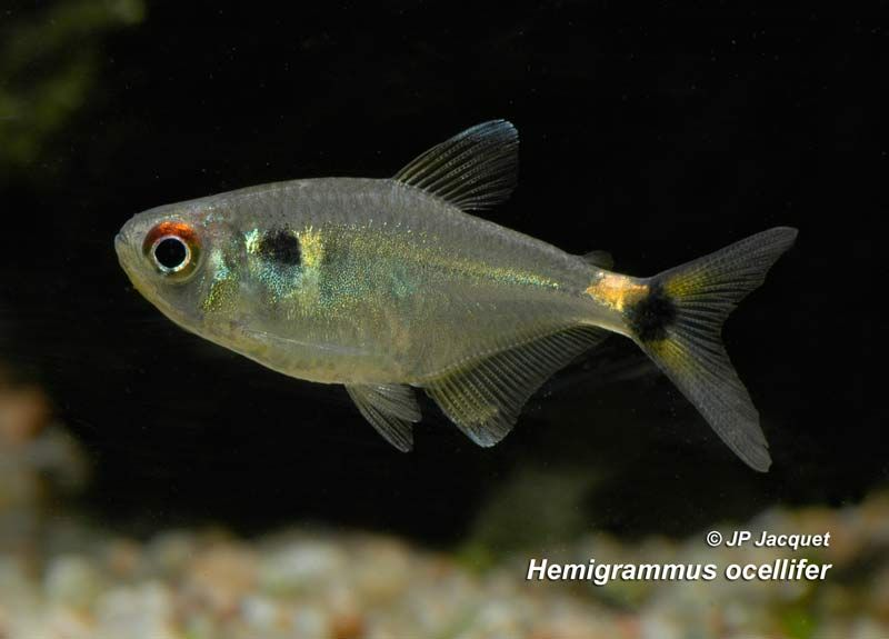 Hemigrammus Ocellifer Head And Tail Light Tetra Aquarium Fish