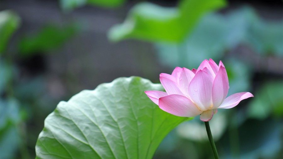 Pink Lotus Flower 4k Ultra Hd Desktop Wallpaper