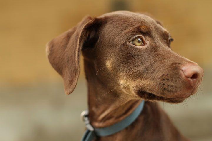 Brown Doberman Pinscher Puppies Uk Usa