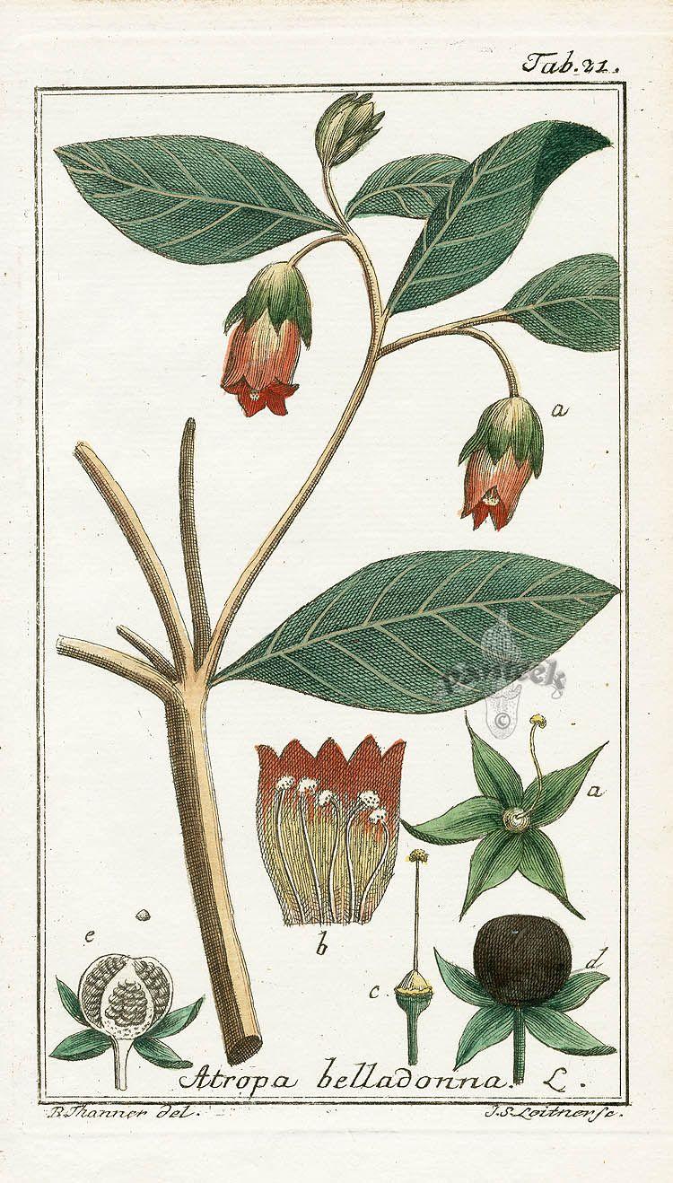 Antique Botanical Prints From Zorn 1779 1790 Antique Botanical Print Vintage Botanical Prints Botanical Prints