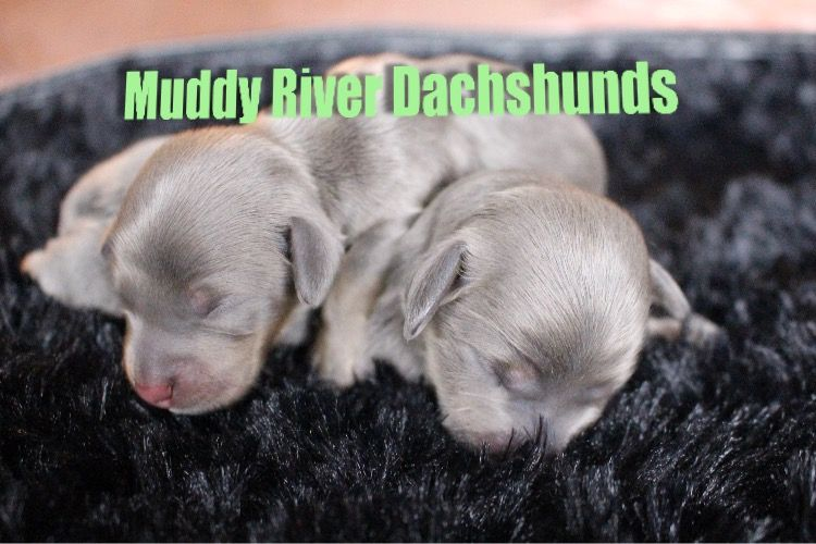 Blue And Tan Miniature Dachshund Puppies At Muddy River Dachshunds