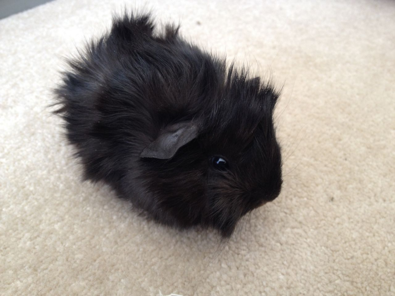Pin On Guinea Pig Babies