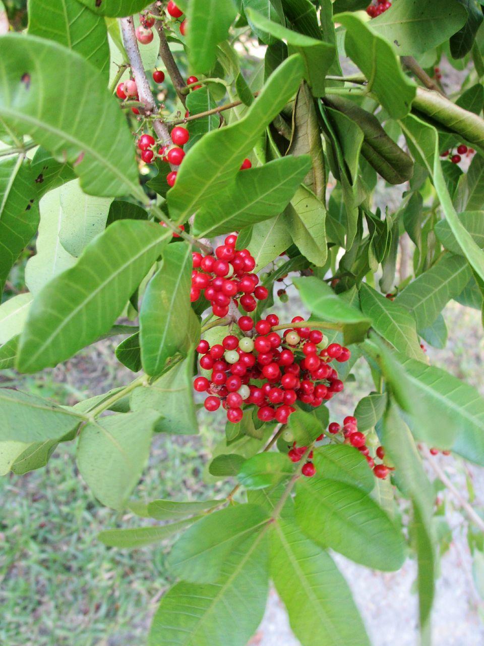 Brazilian Pepper Tree Schinus Terebinthifolius Christmasberries Florida Holly Pepper Trees Wild Berries Pepper Plant Treepo Pepper Tree Plants Pepper Plants