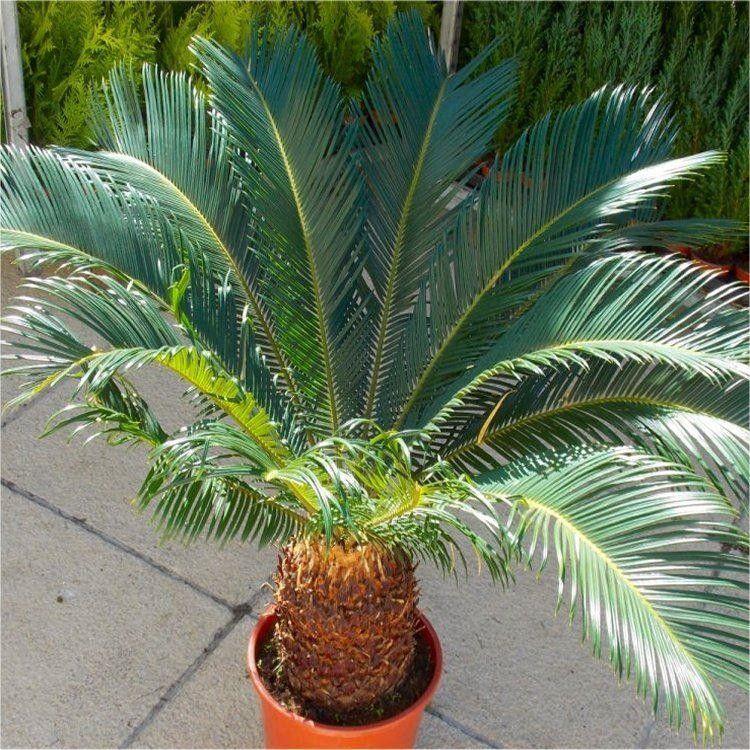 Giant Cycad Cycas Revoluta King Sago Palm Tree Specimen