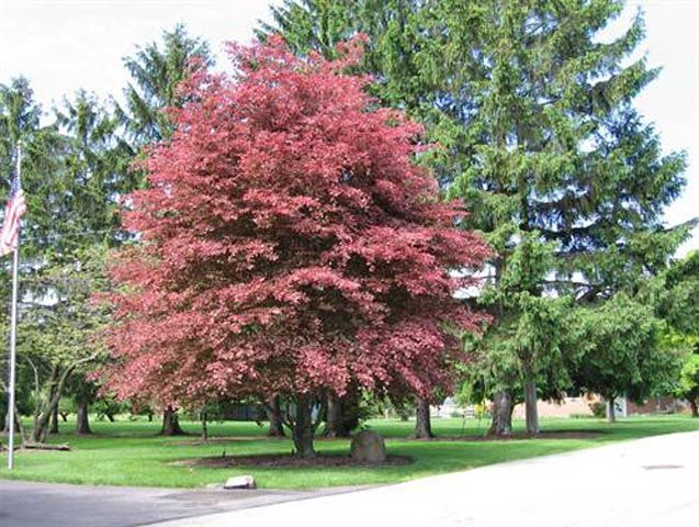What Color Is Beech Wood ~ Tri color beech  tree pinterest