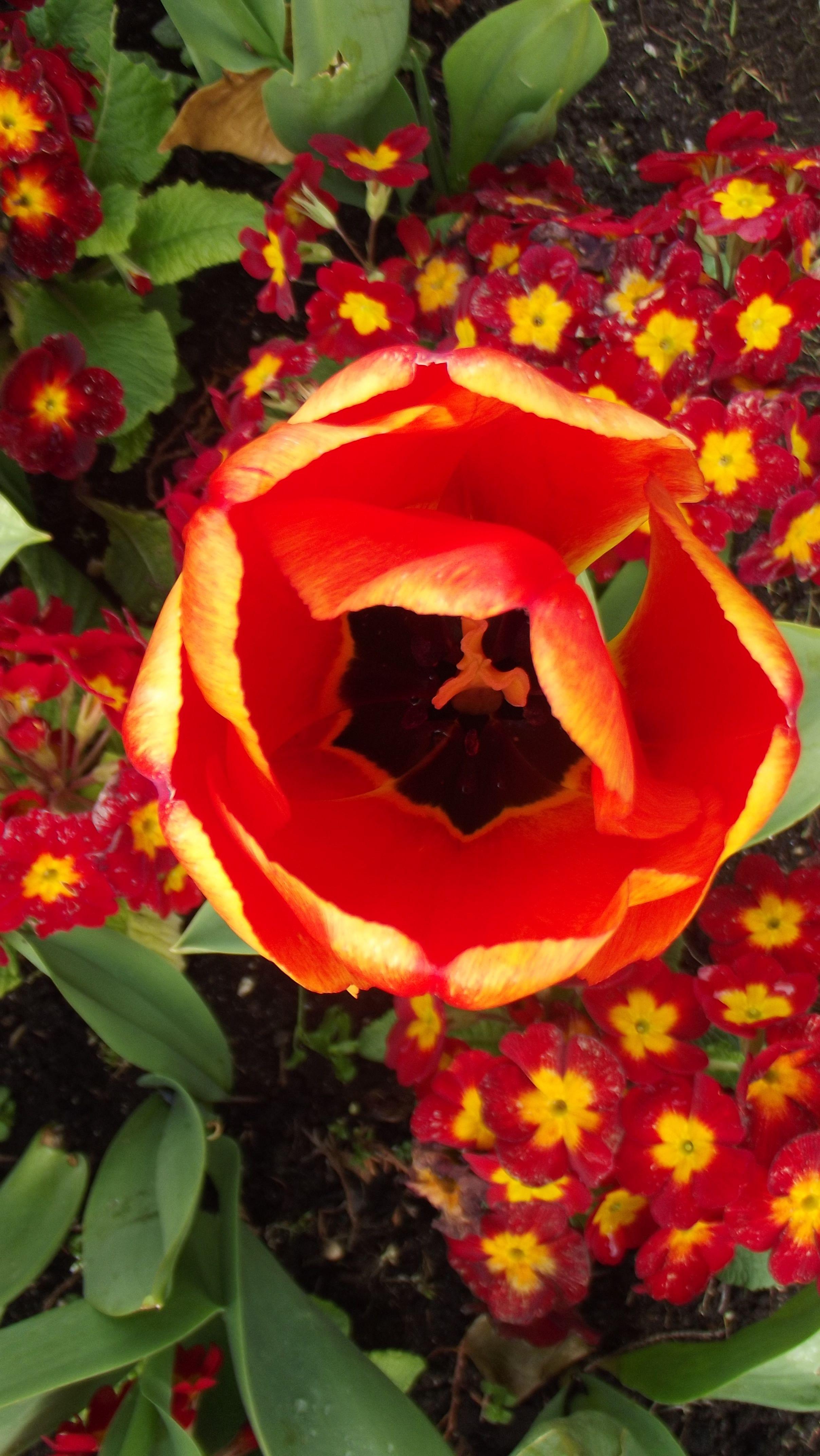 Tulip Festival in Powerscourt Gardens, Powerscourt Estate, County Wicklow, Ireland. www.powerscourt.ie