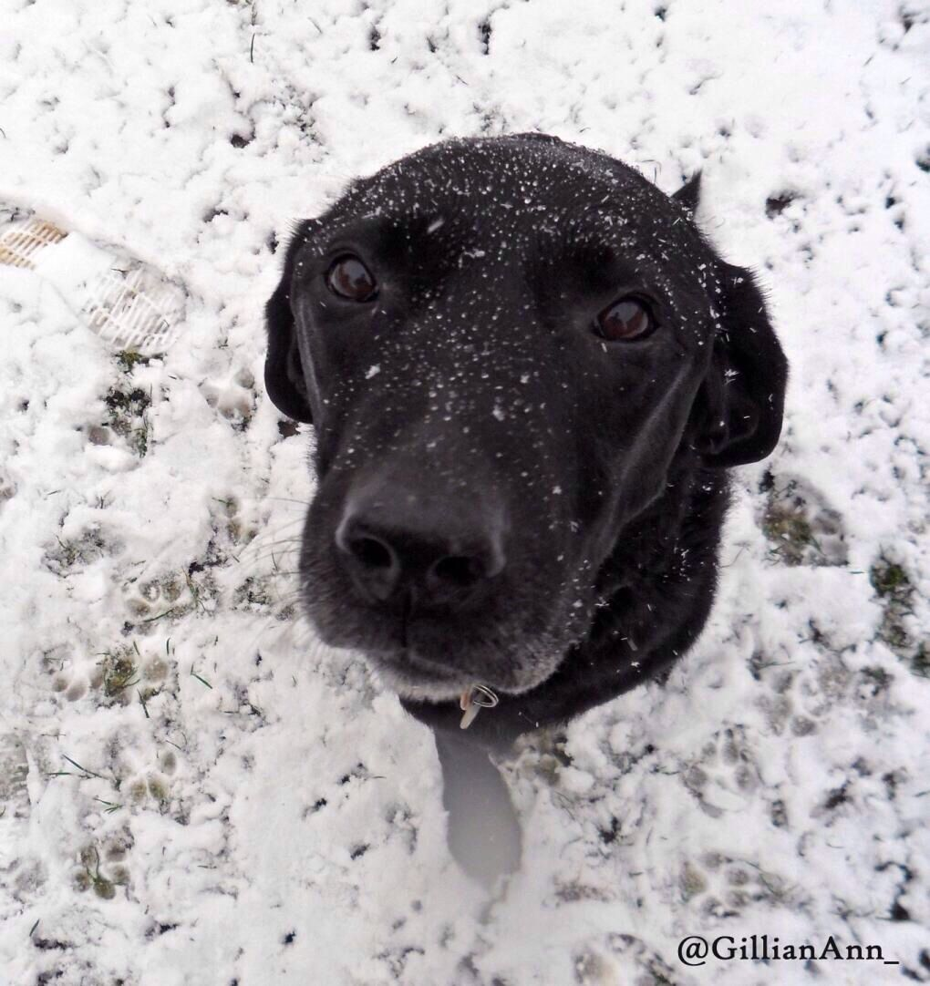 By Gillian Ann Wwww Gillianann Virtualpa Com Snowy Black Labrador Puppy Eyes Snow Winter Black Labrador Puppy Eyes Labrador