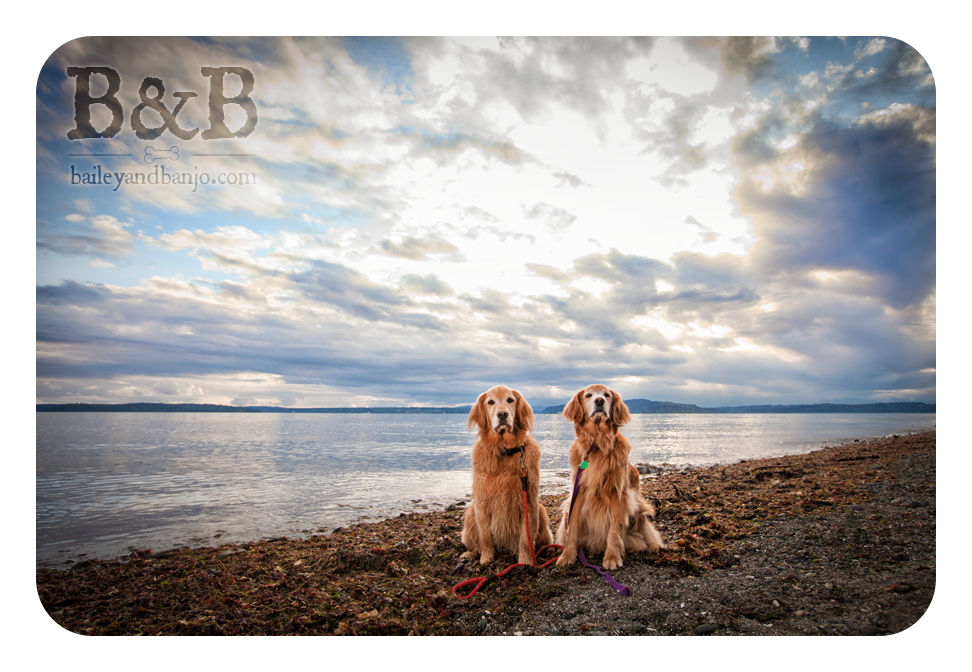 Beautiful Goldens!