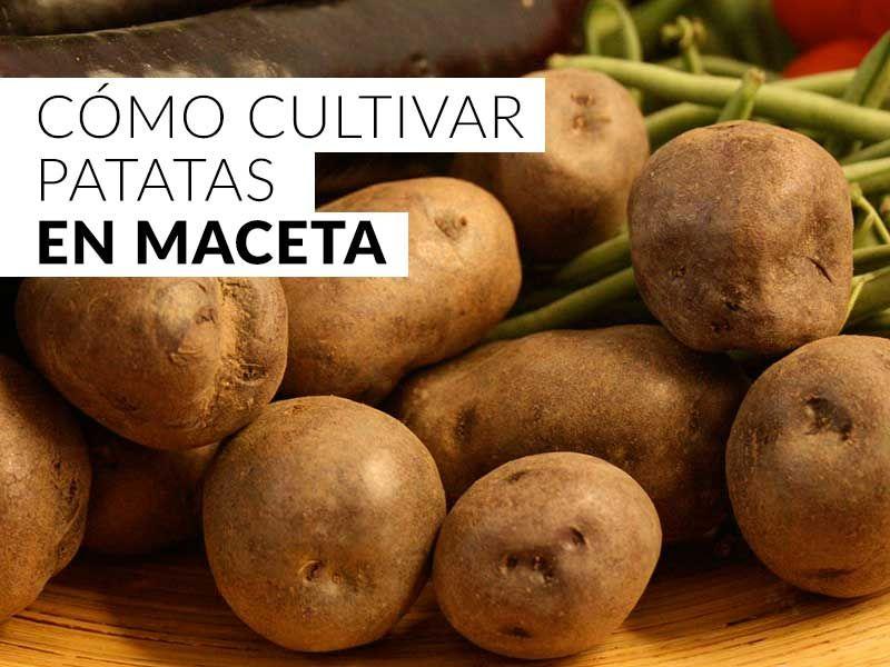 C mo cultivar patatas en macetas agricultura cultivos for Como cultivar patatas