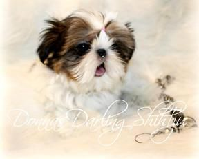 Alabama Imperial Shihtzu Puppies And Chinese Imperial Puppies For
