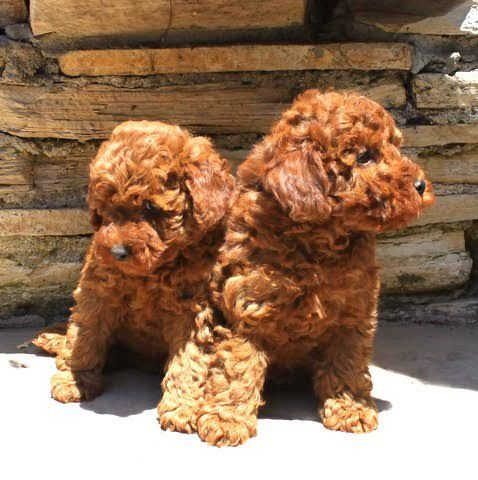 Red And Apricot Poodles Scarlet S Fancy Poodles Akc Poodle