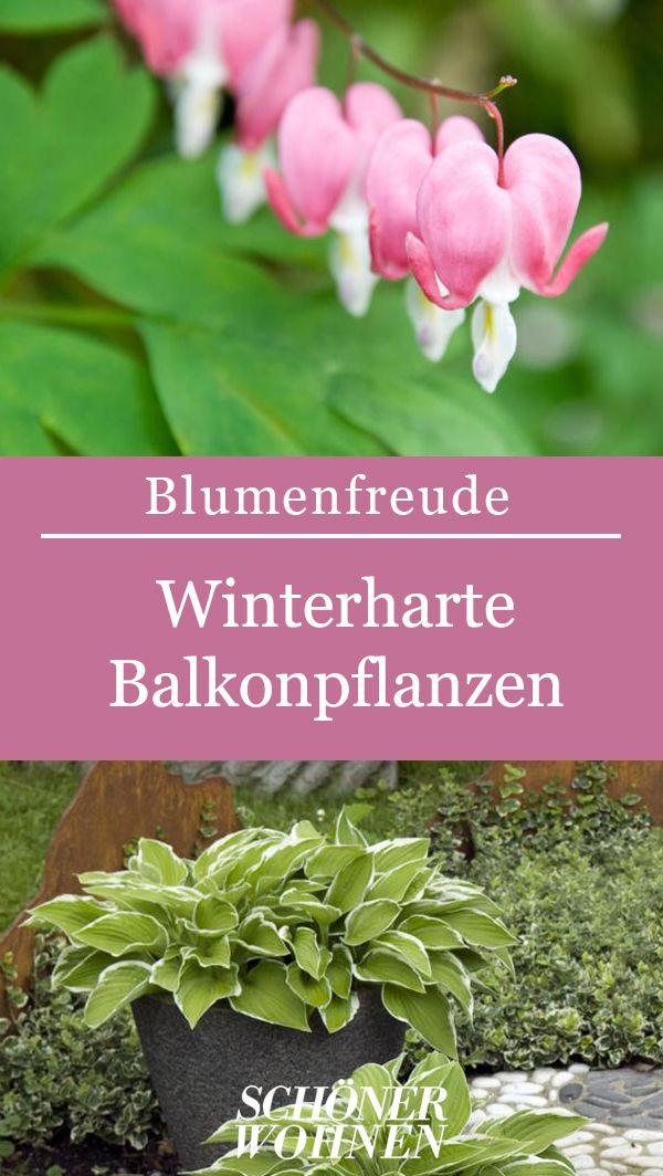 Funkie Hosta Bild 14 Winterharte Balkonpflanzen Winterharte Pflanzen Und Pflanzen