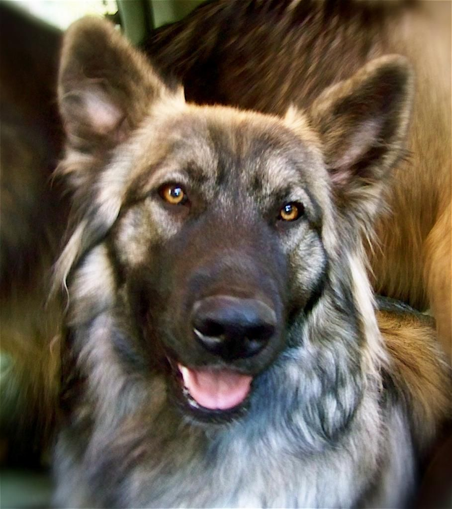 The American Alsatian Or The Modern Direwolf I Must Have One
