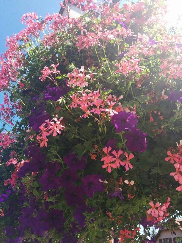 Géraniums lierres à Rouffach