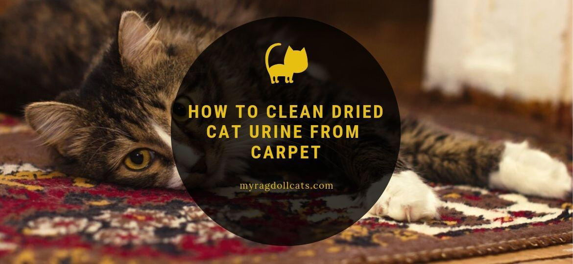 The Best 15 Pics Of How To Clean Dry Cat Urine From Carpet And Description Cat Urine Cleaning Cat Urine Cat Urine Smells