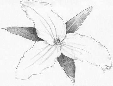 Trillium Pencil Sketch Of Flower By Artist Emily Dewbre-Young.   My Style   Pinterest   Sketches ...