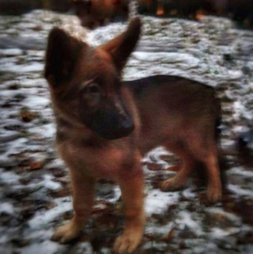 Gallery: Photo #1 - Russia Sends Puppy to France After K-9 Killed During Raid on Terrorist's Hideout - News -