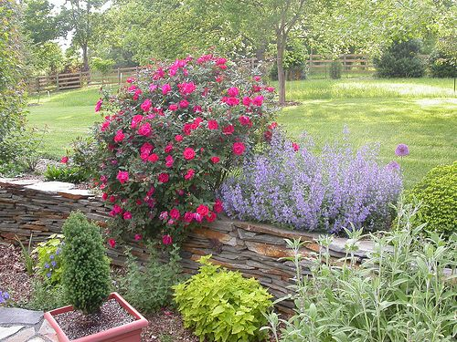 nepata and roses | drought tolerant garden on top of stone ...