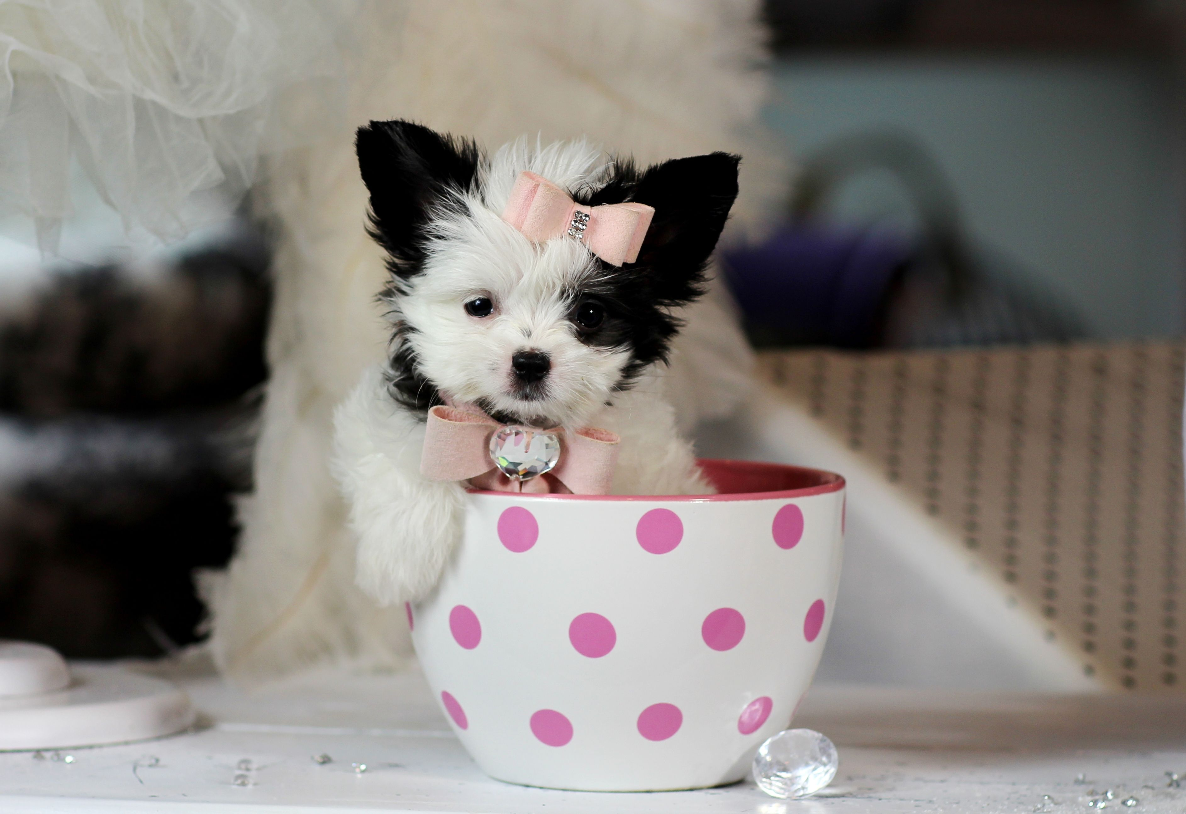 Teacup Papitese Bring This Perfect Baby Home Today