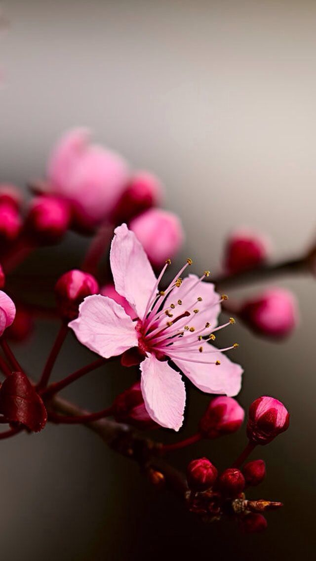 Cherry Blossom Love Cherry Blossom Wallpaper Beautiful Flowers Wallpapers Cherry Flower