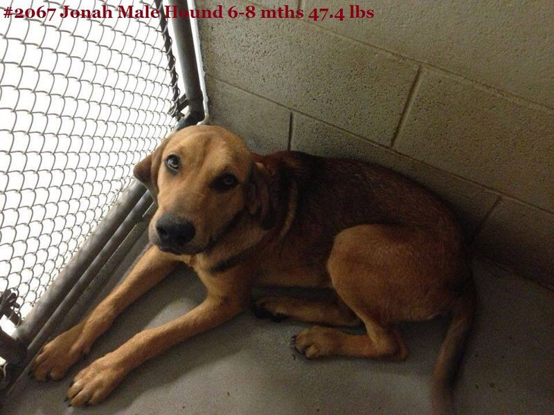 Coonhound mix M 8 months 47.4 lbs. named Jonah in Beckley