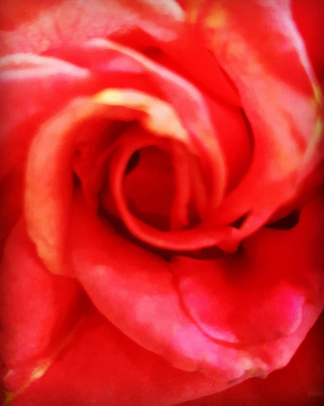 #gardening  #blossom  #flower  #flowerslovers  #flowers #photography #macrophotography  #macrophoto #rose  #roses�� http://gelinshop.com/ipost/1514930165011207249/?code=BUGHPVpBFRR