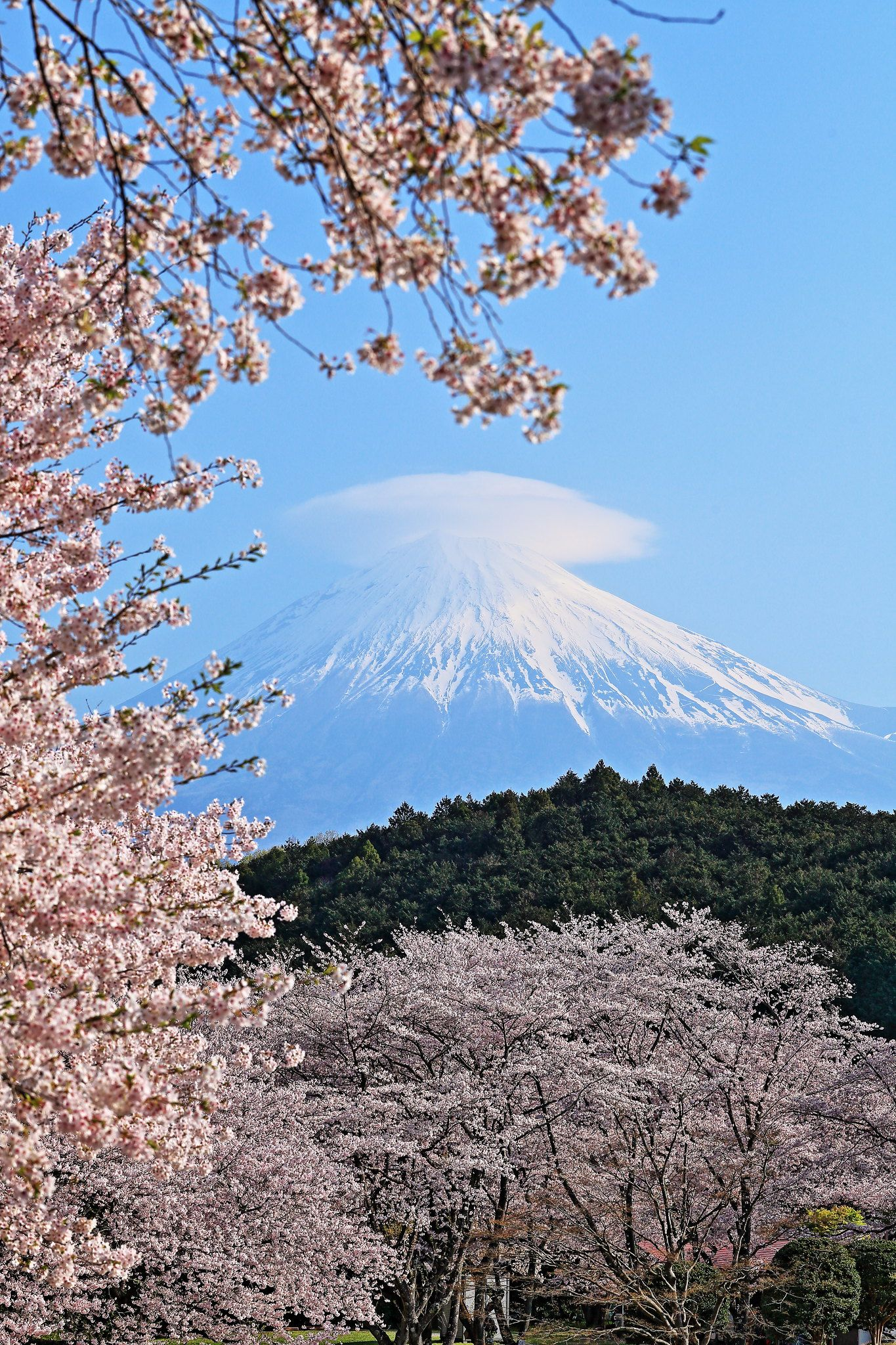 The Cherry Blossoms Are In Full Bloom Blossom Bloom Cherry Blossom