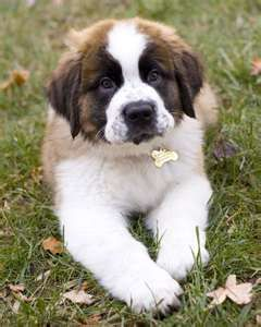 My Boxer Border Collie Mix Puppy Looks Just Like This Puppies