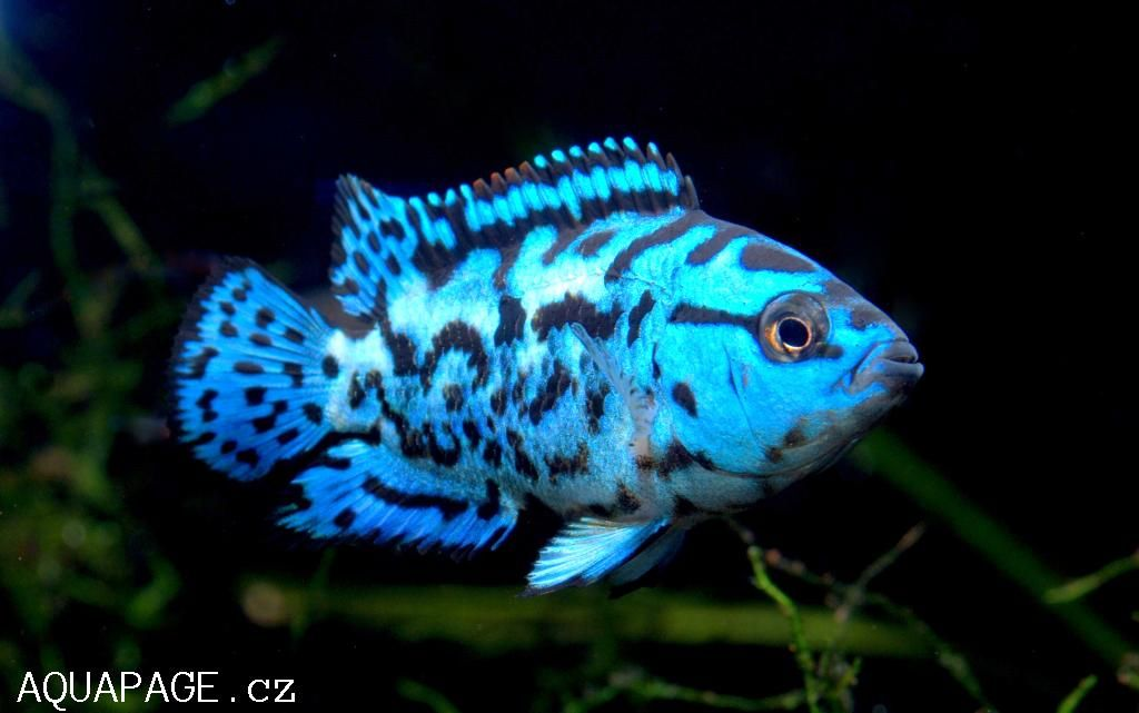 Jack dempsey fish common name jack dempsey about for Jack dempsy fish