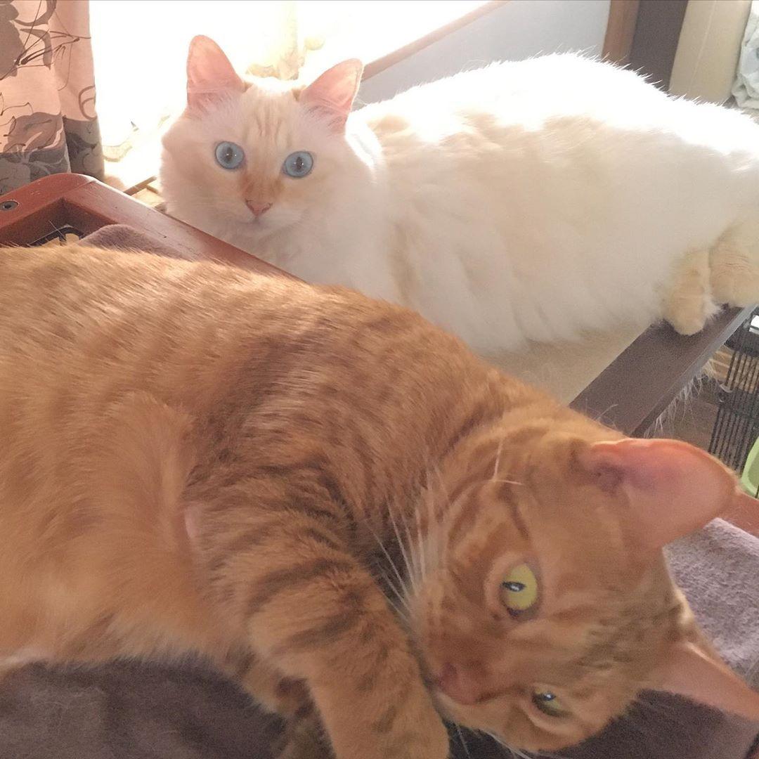 気配 ねこ 白猫 ベンガル べんがるねこ Benglecat Cat Whithcat 猫との暮らし フワモコ にゃんすたぐらむ Cat Nap Cat Mat I Love Cats