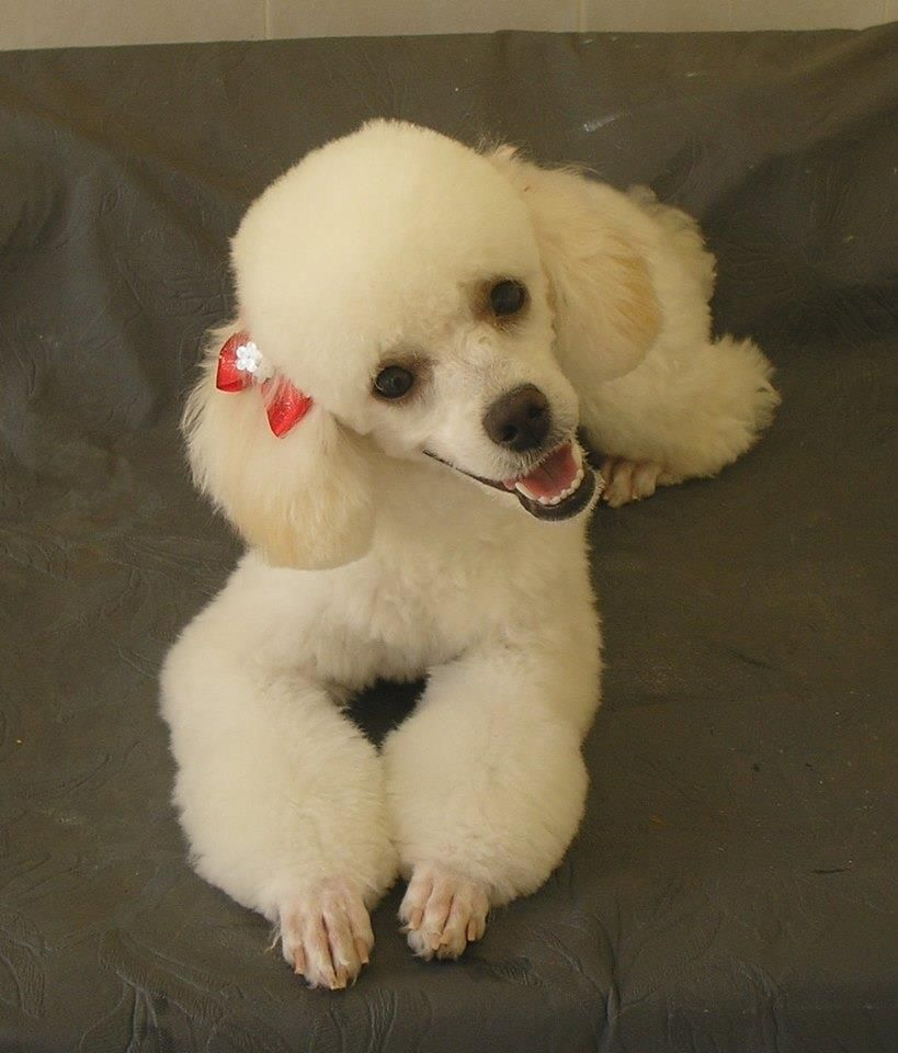 White Poodle Poodle Haircut Toy Poodle Haircut White Toy Poodle