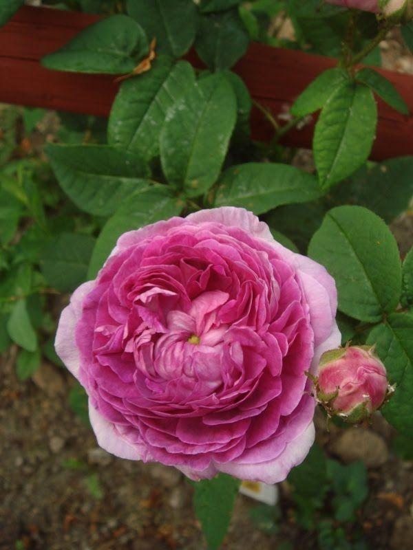 Gallica Rose Rosa Ohl France 1830 Beautiful Rose Flowers