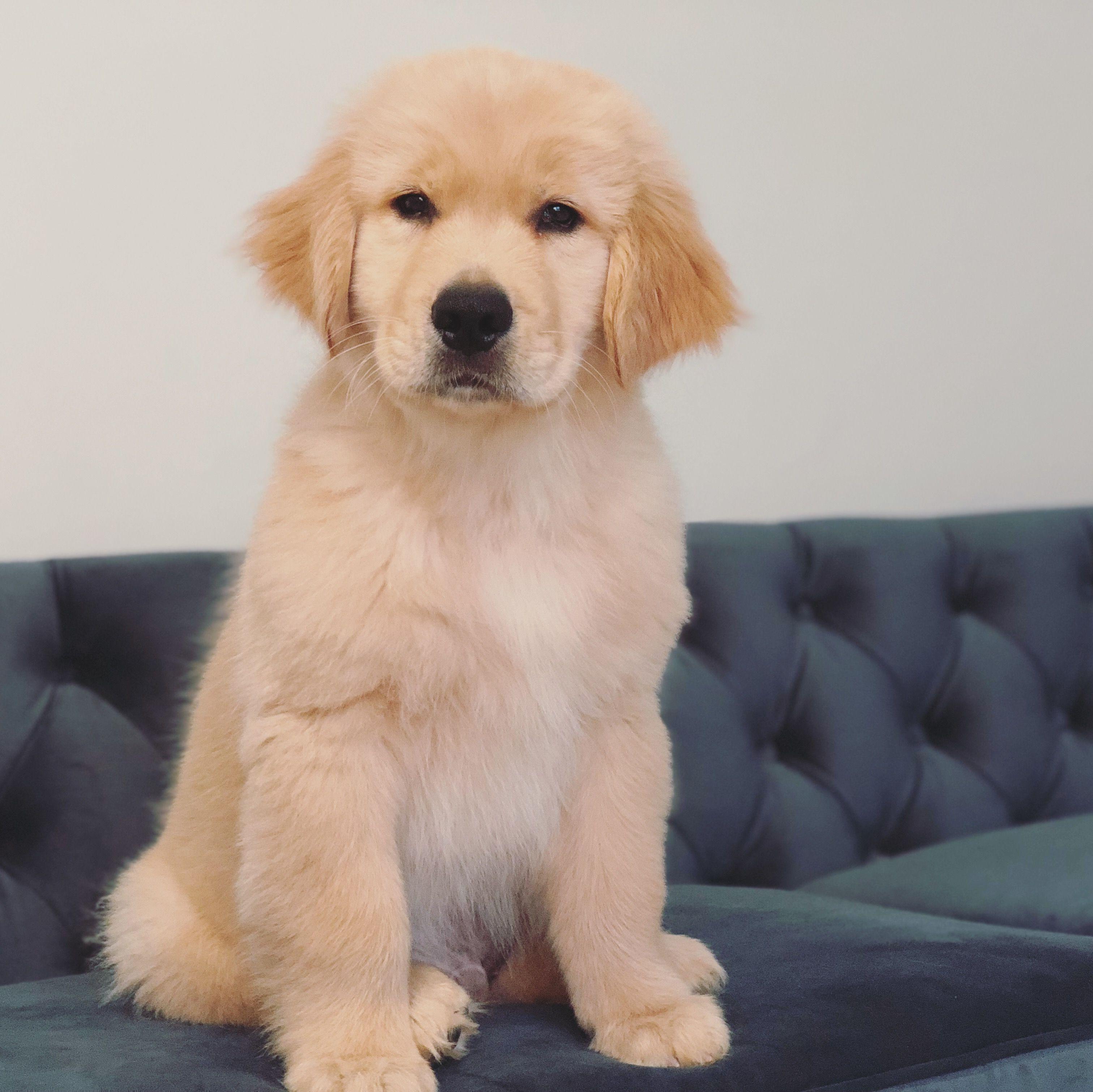 Golden Retriever Puppy 11 weeks goldenretrieverpuppy