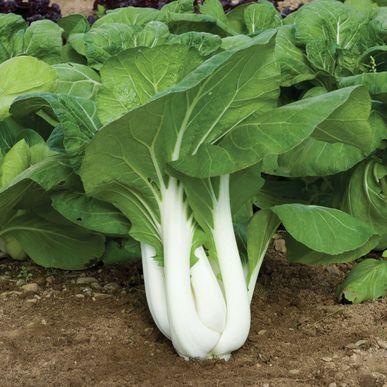 Joi Choi Green Seeds Brassica Rapa Var Chinensis Free Bonus 6 Variety Seed Pack A 30 Value Bok Choy Growing Bok Choy Garden Seeds