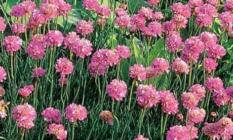 Plant Of The Week Sea Pink Coastal Garden Coastaldecoratingkitchen