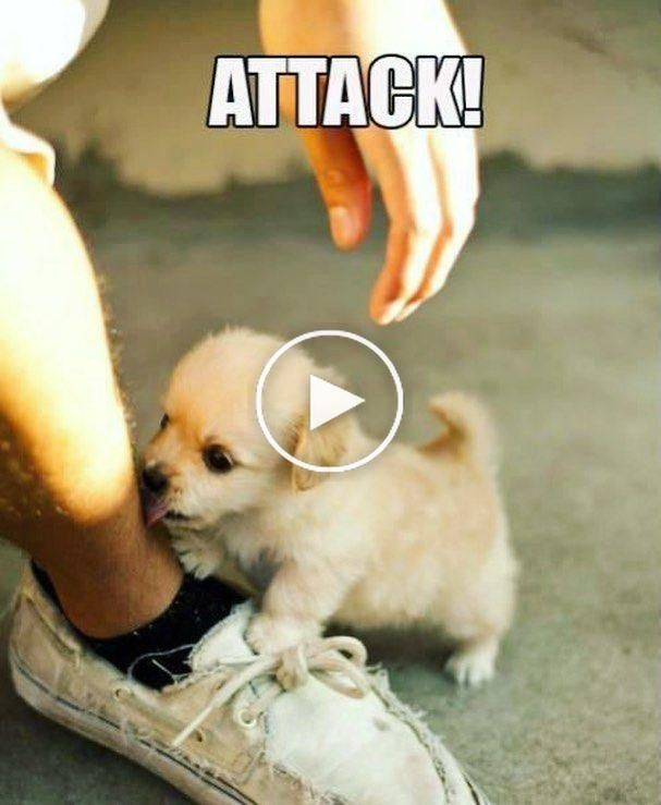 Vicious puppy #cutenessoverload #wednesdayvibes #puppylove #puppers #dogstagram #purrtypuppers #funnyvideos #funnymemes