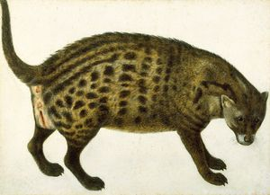 African civet, fromThe Paper Museum of Cassiano dal Pozzo