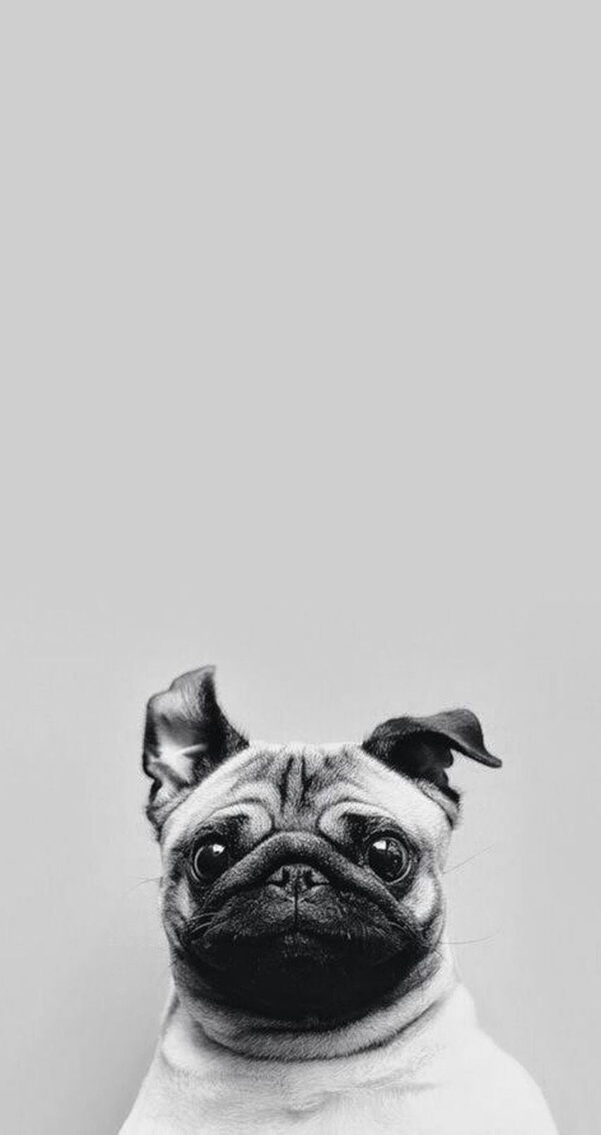 Cute pug tap for see collection of cute pug dog hd wallpapers