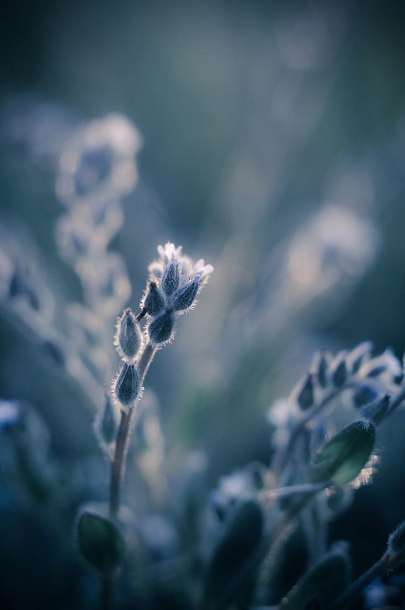 Ethereal Blue Photograph Dreamy Nature Picture Macro Flower Etsy Macro Photography Flowers Beautiful Photography Nature Summer Nature Photography