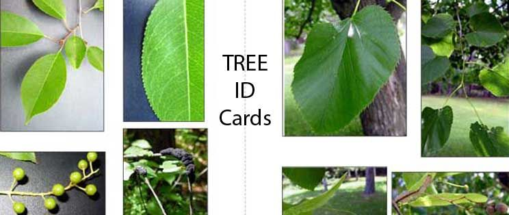 TreeIDcard.jpg This page branches off (ha ha) to several