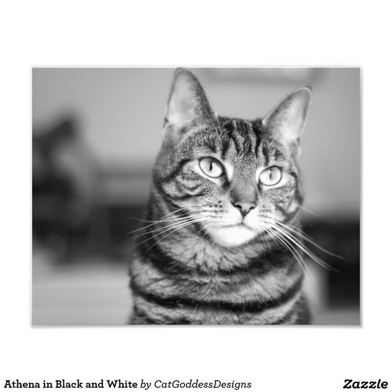 Athena in Black and White Photo Print Cats