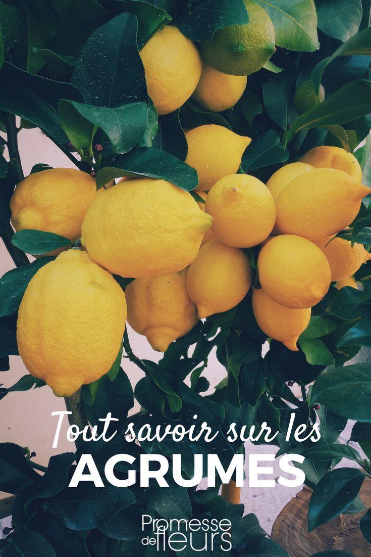 Citronniers Orangers Et Autres Agrumes Les Planter Et Les Cultiver En Pot Ou Au Jardin Avec Images Fond D Ecran Fruit