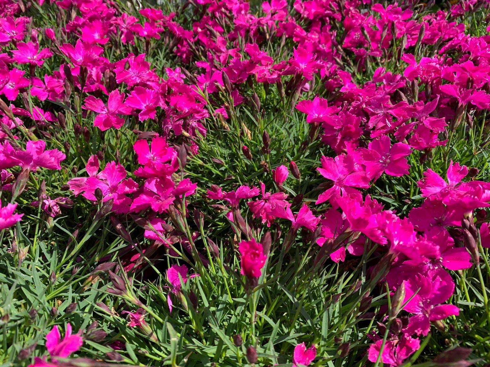 Fiori Kaori.Kaori Il Garofano Rifiorente Kaori The Flourishing Carnation