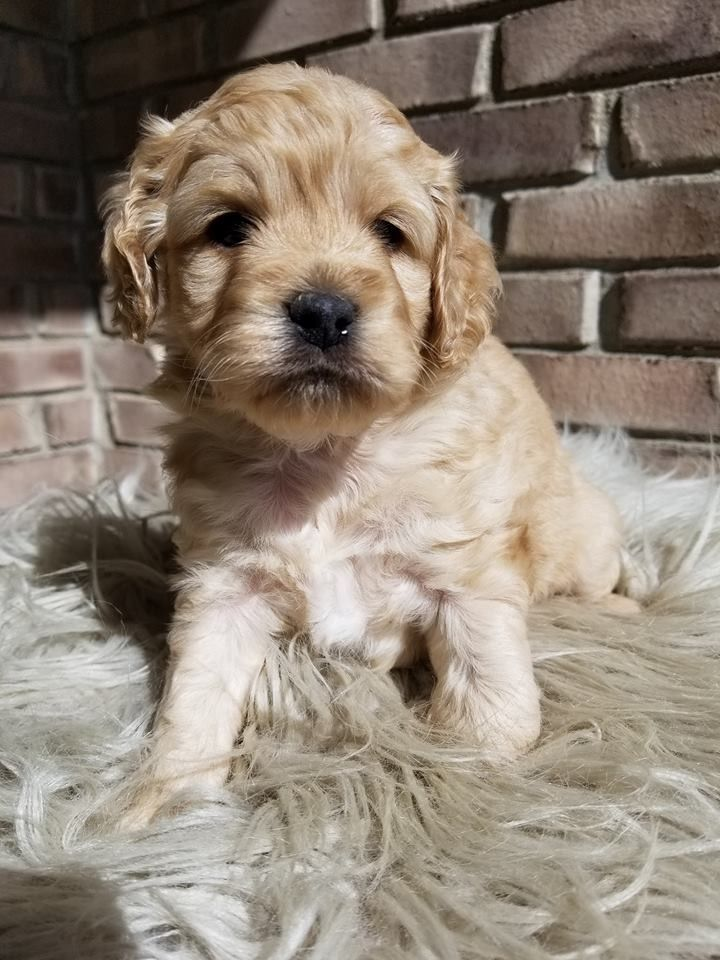 Pin By Nancy Austin On Cockapoo Cuties Cockapoo Puppies Cockapoo Golden Retriever